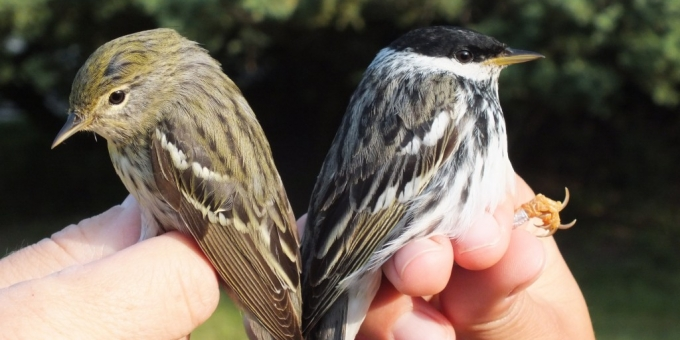 The Bird Banding Station at Ruthven Park Is Open During the Migratory Seasons