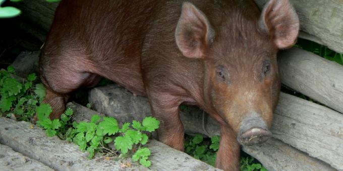 Heritage Breeds -- Tamwoth Pigs