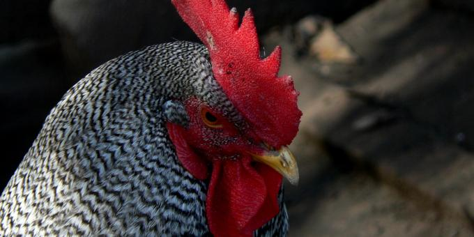 Heritage Breeds -- Barred Plymouth Rock